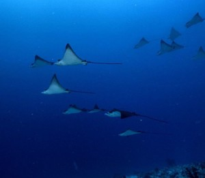 Eagle ray formation maldivesholiday diving dive ocean maldives ray instagohellip