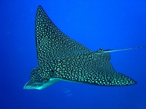 spotted eagle ray?? bluehorizonmaldives dive diving vacation followme scuba scubadivinghellip