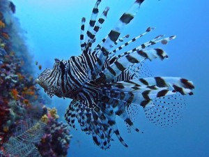 date with this beautiful creature lionfish dive maldives bluehorizon oceanhellip