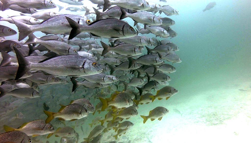 grunt-fish-school