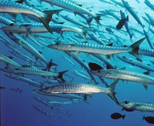 Barracudas bio life art nature padi dive pic maldives biologyhellip
