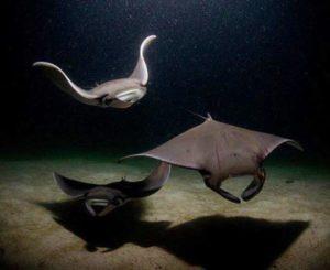 manta ray arent those adorable?? manta skuba padi diver faunareefdiverhellip