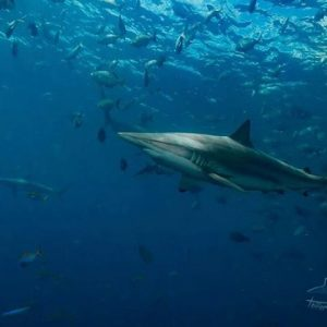 Horizon3 and the sharks maldives scubadive yacht charter scuba divehellip