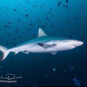 Tale of the sharks maldives bluehorizon adventures nocrowd maldivas reisenfuerweltentdeckerhellip