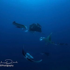 Dance of the mantas maldives mantas dance malediven reisen easterhellip