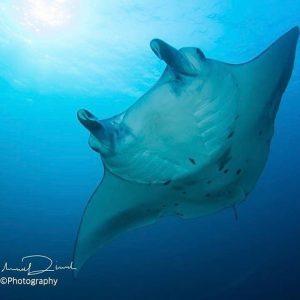 Manta maldives malediven malidvas schn cruise tauchenmagazin bluehorizonmaldives scubadivingmag scubahellip