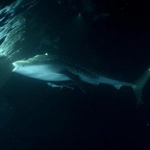 Whale Sharks maldives horizon3 atoll cruise yachtlife nature sharks photographyhellip