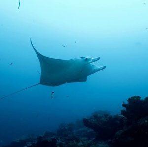 Gentle and majestic maldiverna charter tauchen malediven plongee scuba divehellip