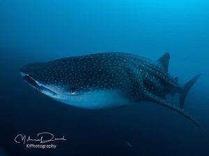 Whaleshark whale shark whalesharks bluehorizon scuba diving plongee tauchen immersionehellip